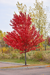 Autumn Spire Red Maple (Acer rubrum 'Autumn Spire') at Vermeer's Garden Centre
