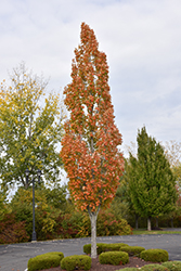 Armstrong Maple (Acer x freemanii 'Armstrong') at Vermeer's Garden Centre