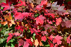 Redpointe Red Maple (Acer rubrum 'Redpointe') at Vermeer's Garden Centre