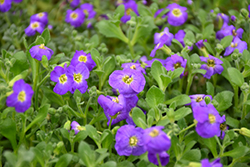 Audrey Deep Blue Shades Rock Cress (Aubrieta 'Audrey Deep Blue Shades') at Vermeer's Garden Centre