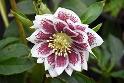 Painted Doubles Hellebore (Helleborus 'Painted Doubles') at Vermeer's Garden Centre