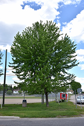 Silver Maple (Acer saccharinum) at Vermeer's Garden Centre