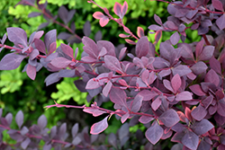 Royal Cloak Japanese Barberry (Berberis thunbergii 'Royal Cloak') at Vermeer's Garden Centre