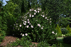 Pink Chiffon® Rose of Sharon (Hibiscus syriacus 'JWNWOOD4') at Vermeer's Garden Centre