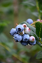 Chippewa Blueberry (Vaccinium 'Chippewa') at Vermeer's Garden Centre