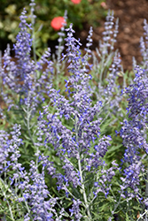Lacey Blue Russian Sage (Perovskia atriplicifolia 'Lacey Blue') at Vermeer's Garden Centre