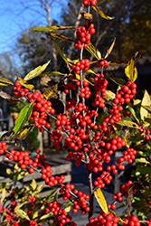 Winterberry (Ilex verticillata) at Vermeer's Garden Centre